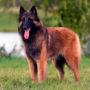 Породы собак: Бельгийская овчарка