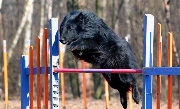 Дрессировка бельгийской овчарки достаточно сложный процесс, поэтому рекомендуется только опытным собаководам