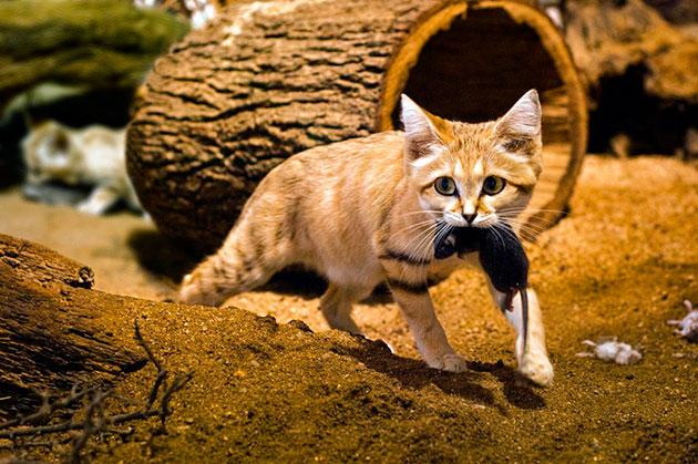 Бархатная кошка питается в основном мелкими грызунами, ящерицами и пауками