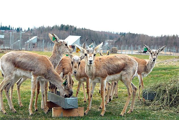 Рацион питания антилопы джейран абсолютно не прихотлив