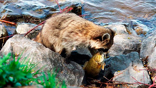 Енотовидные собаки питаются грызунами, амфибиями, а так же могут полакомится рыбой