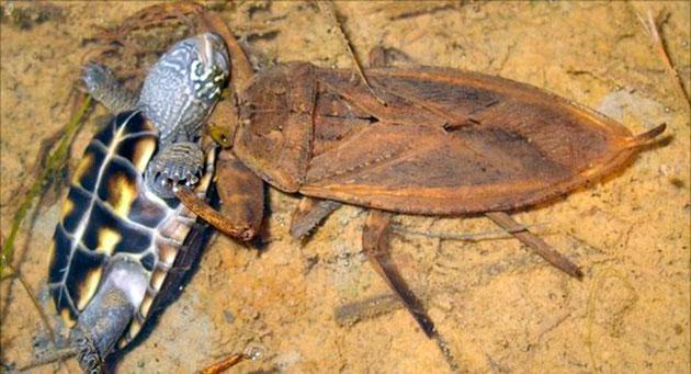Водяной скорпион искусный охотник - он выжидает свою добычу в засаде