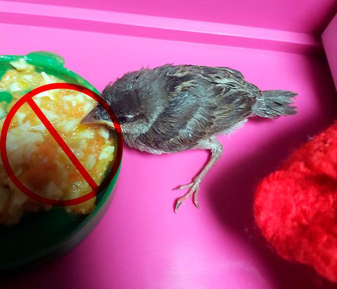 Птенцам нельзя давать мертвых насекомых и твердые зерновые