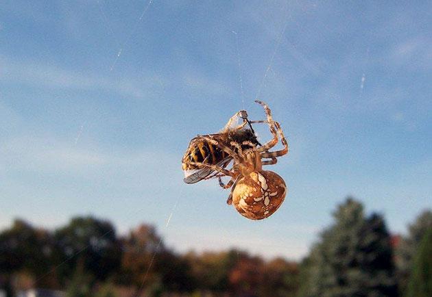 Добыча крестовика мелкие насекомые и различные мушки