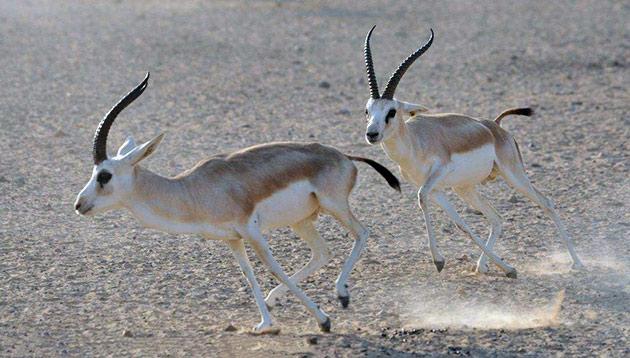 Основными врагами антилопы джейран, являются волки и другие крупные хищники