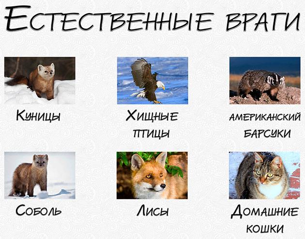 Природных врагов у горностая достаточно много