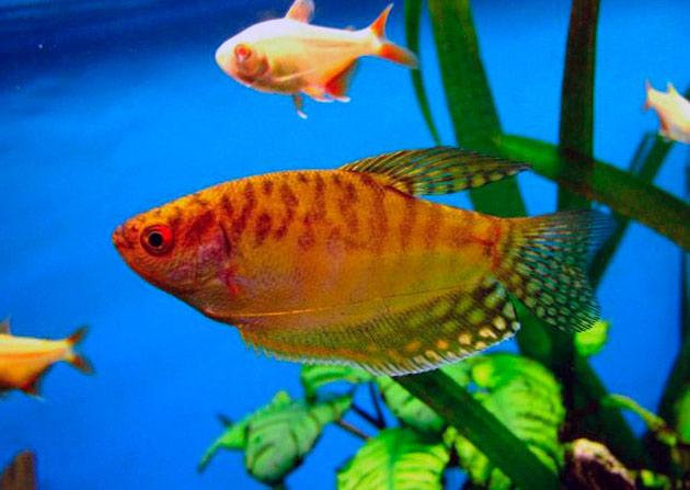 Гурами стоит не так дорого, так что такую рыбку может позволит даже начинающий аквариумист
