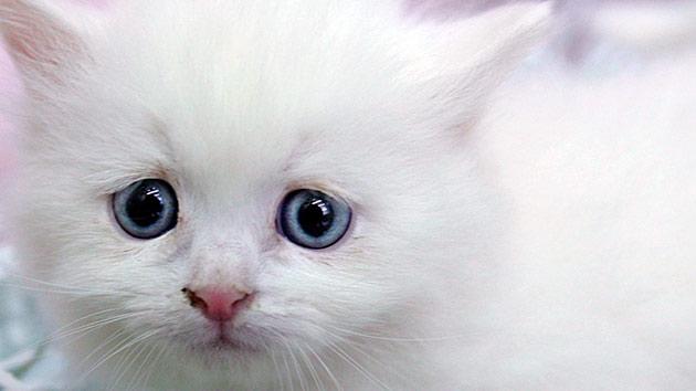 Давать глистогонные препараты котятам можно только, в возрасте 3 недели и старше