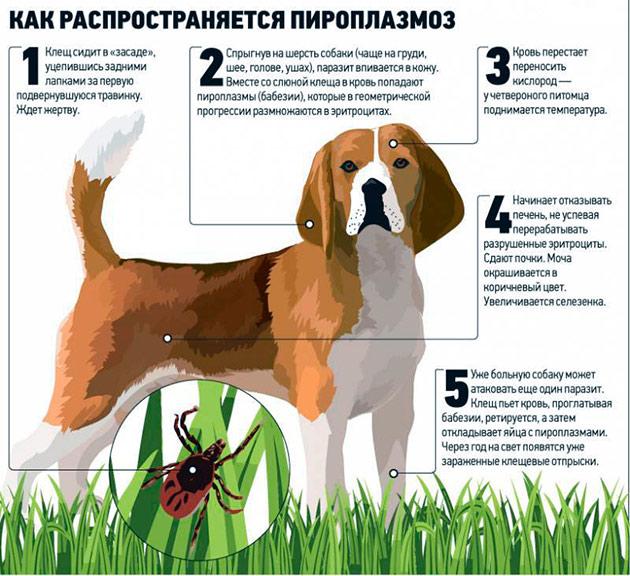 Собака заражается пироплазмозом при укусе инвазированным клещом