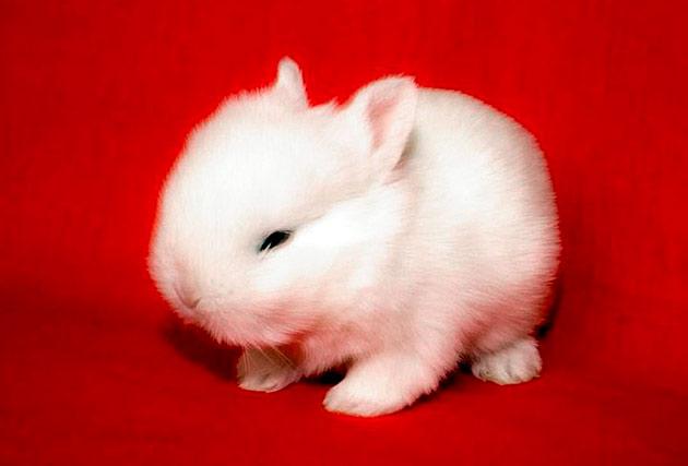 У карликовых кроликов есть ряд заболеваний, но при надлежащим уходе ваш питомец будет радовать долгие годы