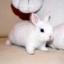 Карликовый кролик Гермелин