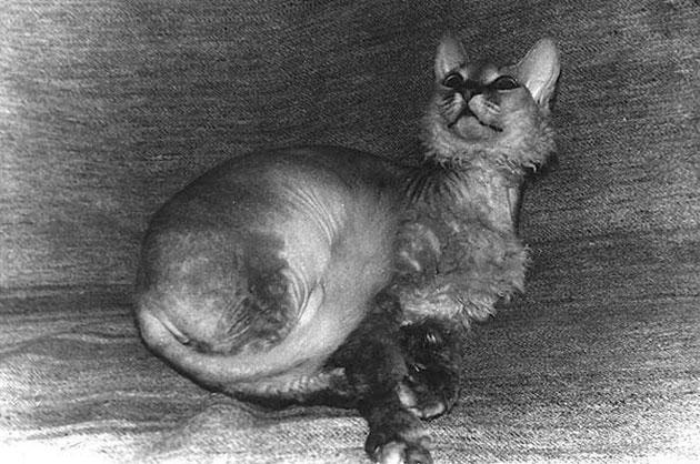 Породы кошек: Сфинкс