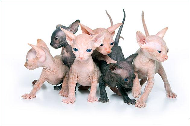 Если вы приобретаете котенка сфинкса в другом городе - просите снять его на видео, что бы оценить как ведет себя котенок