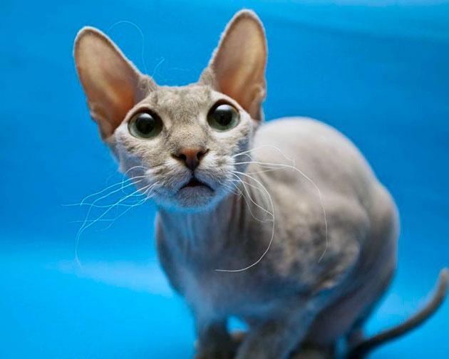 Кошки сфинксы вызывают восхищение у владельцев, это очень утонченные и аристократичные создания