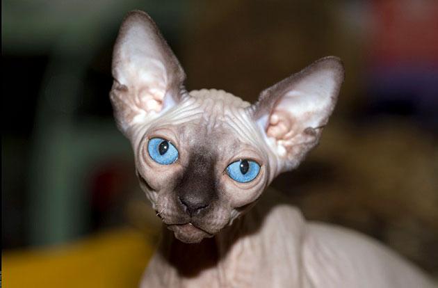 Сфинксы очень ласковые и преданные кошки