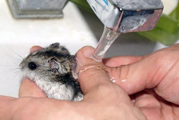 Сирийские хомяки очень не любя воду в отличие от джунгариков, поэтому с мытьем могут возникать проблемы