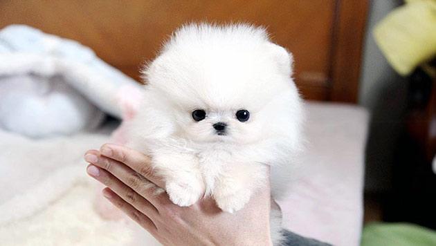 Померанского шпица лучше покупать в питомниках - это гарантия приобретения здорового щенка