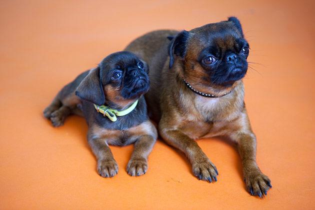 брать щенков пти брабансона рекомендуется не раньше 2.5 месяцев