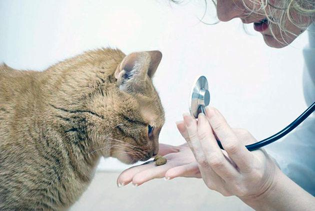 Глистогонить кошку можно и народными средствами, но лучший препарат сможет назначить только ветеринар