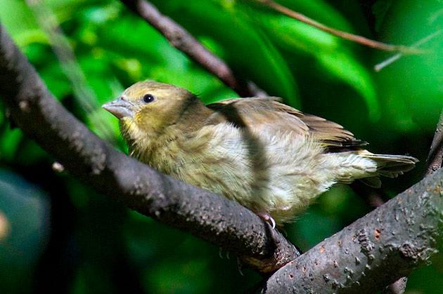 Обыкновенная зеленушка обитает где есть кустарники и смешанные леса