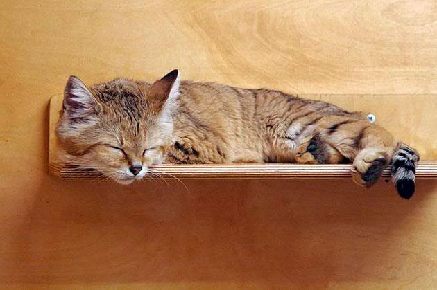 Бархатного кота содержать в домашних условиях, не сложнее чем кошку