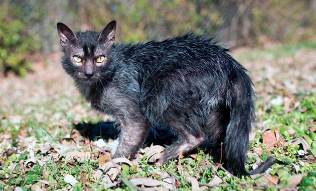 Стандарты породы кошки ликоя, до сих пор претерпевают изменения