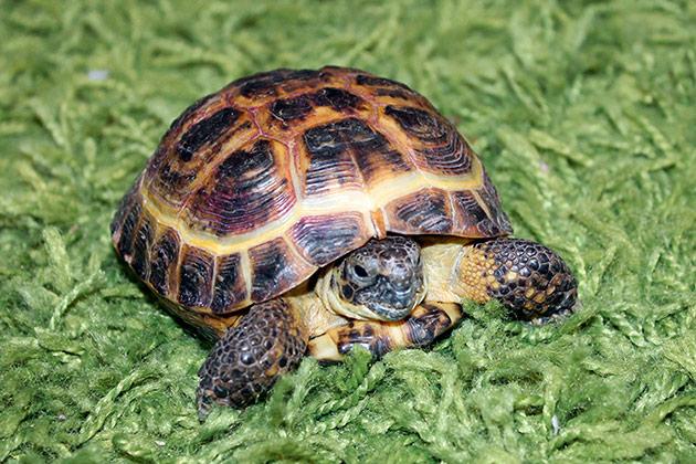 По отзывам владельцев среднеазиатская черепаха очень умная амфибия, а в содержание крайне не прихотлива