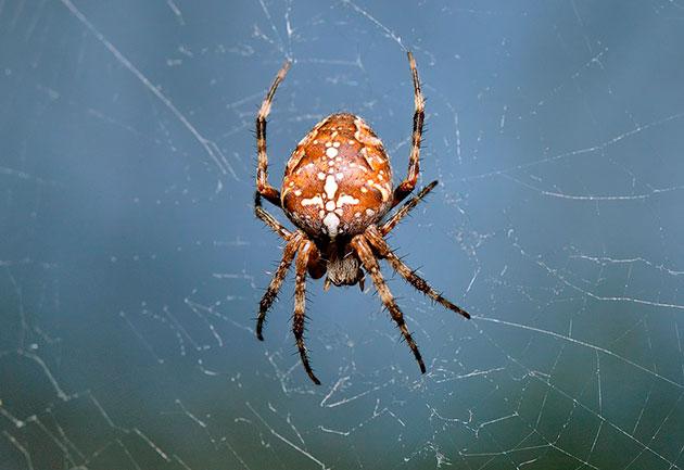 Пауки крестовики плетут свою паутину в деревьях между ветками - там очень много пищи для них