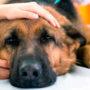 Пироплазмоз (бабезиоз) у собак