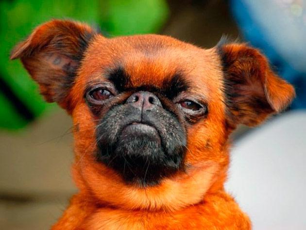 В рационе питания пти брабансона обязательно должна присутствовать натуральная пища