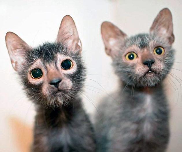 Ликои пока не получили широкое распространение в России, но владельцы отзываются о них, как о веселых и озорных кошках