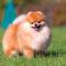Породы собак: Померанский шпиц