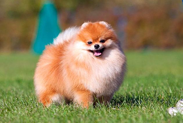 Породы собак - Померанский шпиц
