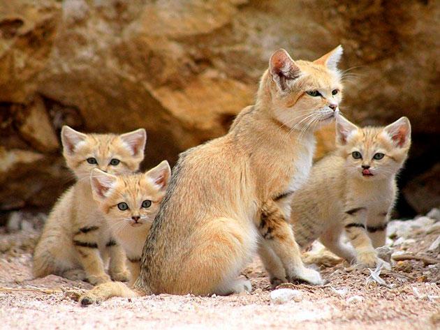 Самка бархатной кошки рожает около 4-5 котят