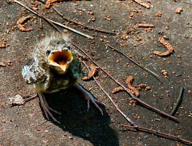Что делать, если птенец выпал из гнезда