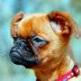 Породы собак: Пти Брабансон