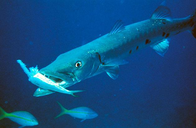Барракуда питается ракообразными и рыбами меньшего размера