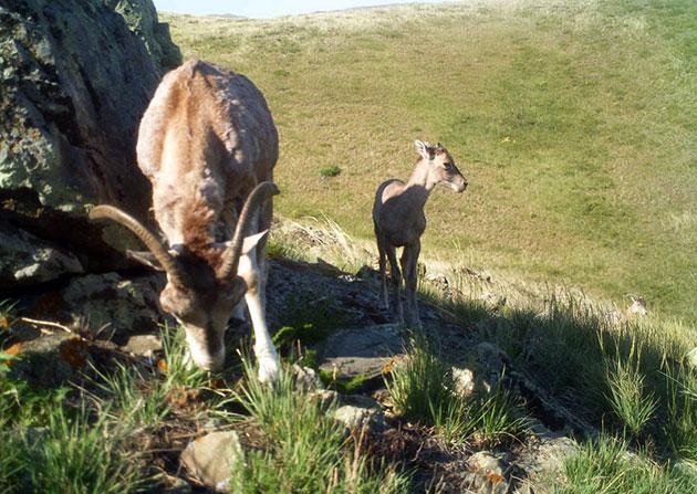 Архары готовы оставить потомство в возрасте двух лет