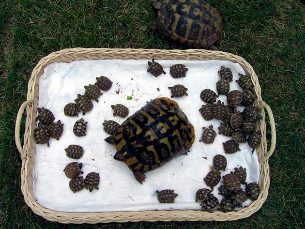 Что бы заняться размножением среднеазиатской черепахи нужно приобрести двух черепашек примерно одного размера и возраста