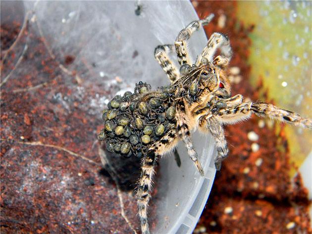 Самка южнорусского тарантула вынашивает паучат в коконе, который находится у неё на брюшке