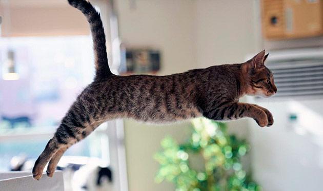 Если кошка не испытывает нехватку таурина, она будет жизнерадостная и активная