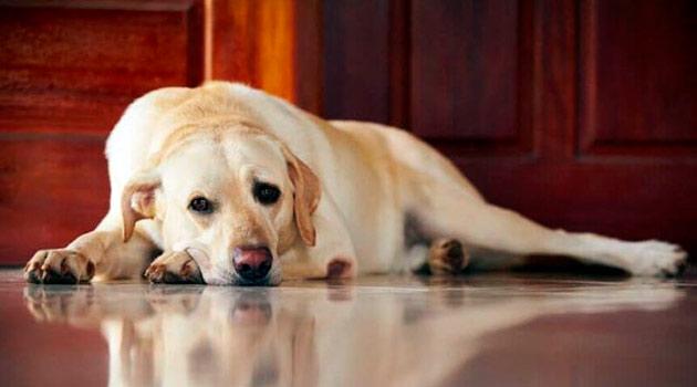 При пироплазмозе у собаки наблюдается вялость, повышенная температура и рвота