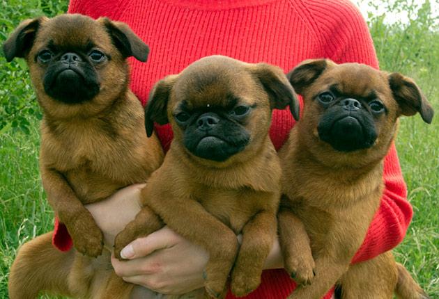 Пти брабансон - миниатюрная порода собак, так что их можно содержать и в квартире и на загородном доме