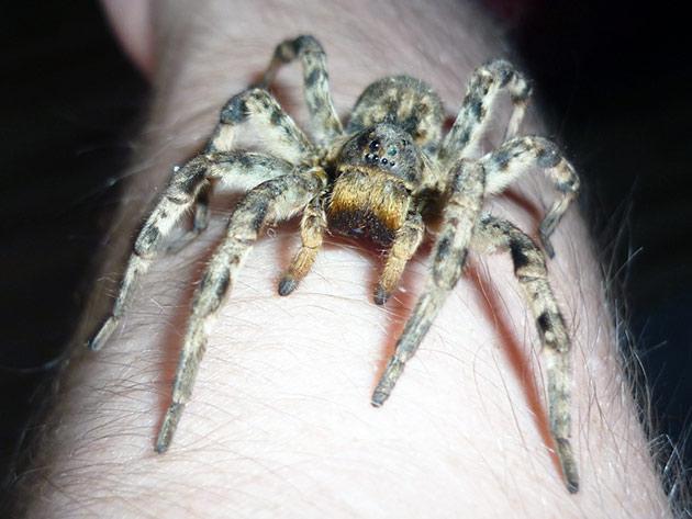 Содержание южнорусского тарантула не вызовет никаких трудностей, но специалисты все же не рекомендуют приобретать их для детей