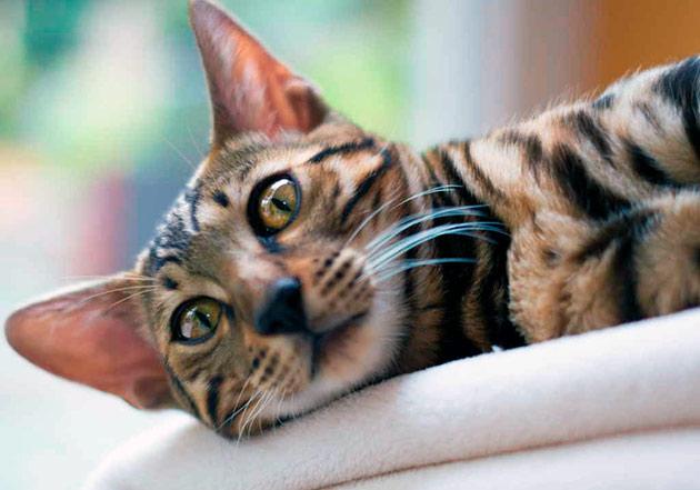 Нехватка таурина у кошек в первую очередь влияет на координацию во время прыжков