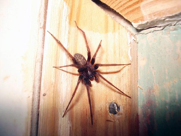 Домовые пауки строят свои логова в темных уголках квартиры или дома