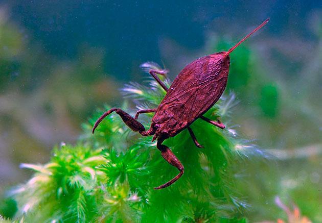 Сложная дыхательная система позволяет водяному скорпиону дышать кислородом и находиться под водой до получаса