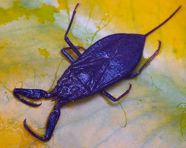 Водяной скорпион (Nepidae)