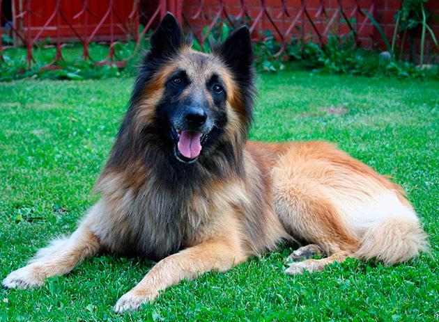 Бельгийская овчарка обладает отличными интеллектом и всеми задатками сторожевой собаки