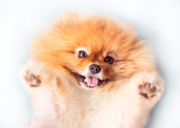 Померанские шпицы очень веселые, позитивные и игривые собачки